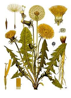 Taraxacum officinale - Köhler–s Medizinal-Pflanzen-135.jpg