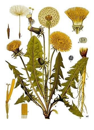Taraxacum officinale - Image: Taraxacum officinale Köhler–s Medizinal Pflanzen 135