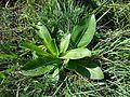 Taraxacum serotinum sl54.jpg