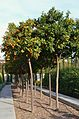 Tarongers del jardí de les Hespèrides, València.JPG
