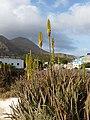 Tarrafal-Aloe vera.jpg