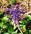 Tasseled hyacinth - Flickr - gailhampshire.jpg