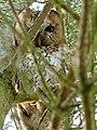 Tawny Owl (6884444842).jpg
