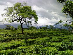Tea garden in dooars.jpg