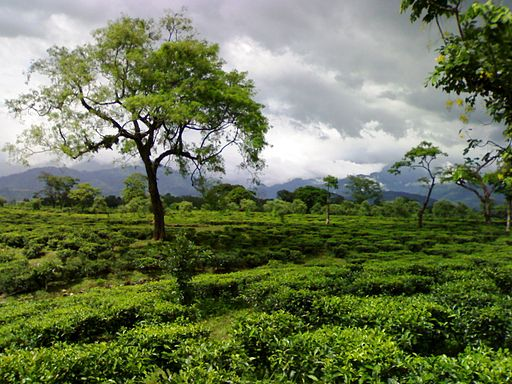 Tea garden in dooars