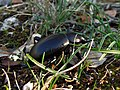 Tenebrionidae - Blaps lusitanica (8117585997).jpg