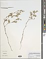 Tephrosia pedicellata-NMNH-13369458.jpg