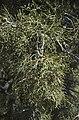 Tetraclinis articulata (4387569900).jpg