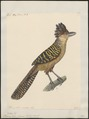 Thamnophilus cinereus - 1824-1839 - Print - Iconographia Zoologica - Special Collections University of Amsterdam - UBA01 IZ16400391.tif