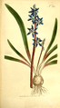 The Botanical Magazine, Plate 341 (Volume 10, 1796).png