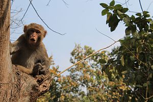 Bhawal National Park - Image: The Cute Monkey
