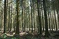 The Forest at Llyn Brenig - geograph.org.uk - 907051.jpg