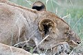 The Lion Sleeps This Afternoon (2271535171).jpg