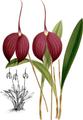 The Orchid Album-01-0074-0024-Masdevallia harryana coerulescens-crop.png