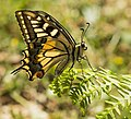 The Swallowtail Butterfly (262808117).jpeg