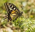 The Swallowtail Butterfly (262808117).jpeg