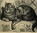 The cat - its natural history; domestic varieties; management and treatment (with illustrations) (1887) (20399537359).jpg
