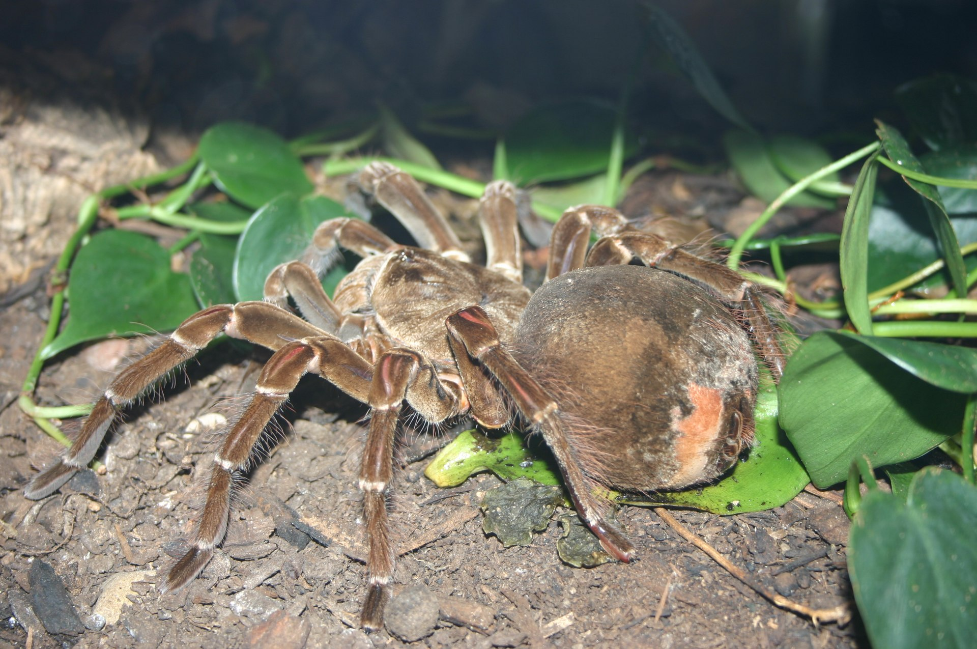 L'araignée goliath 1920px-Theraphosa_blondi_flickr