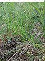 Thesium ramosum sl14.jpg