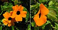 Thunbergia alata, the Black-eyed Susan Vine (9137495062).jpg