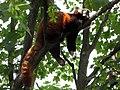 Tiergarten Schoenbrunn Kleiner Panda 2.jpg