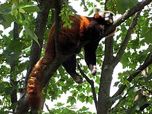 A red panda lies sleeping on a high branch of a tree, with tail stretched out behind and legs dangling on each side of the branch
