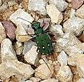 Tiger Beetle. Cicindela campestris (28146658079).jpg