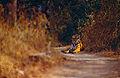 Tigress (Panthera tigris) on the trail (14562720860).jpg