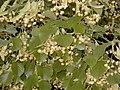 Tilia platyphyllos.jpg