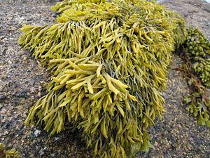 TomCorser Seaweed 2
