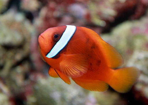 Tomato clownfish, Amphiprion frenatus is an interesting alternative beginner clownfish species