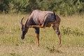 Topi scratching Masai Mara (7233808266).jpg