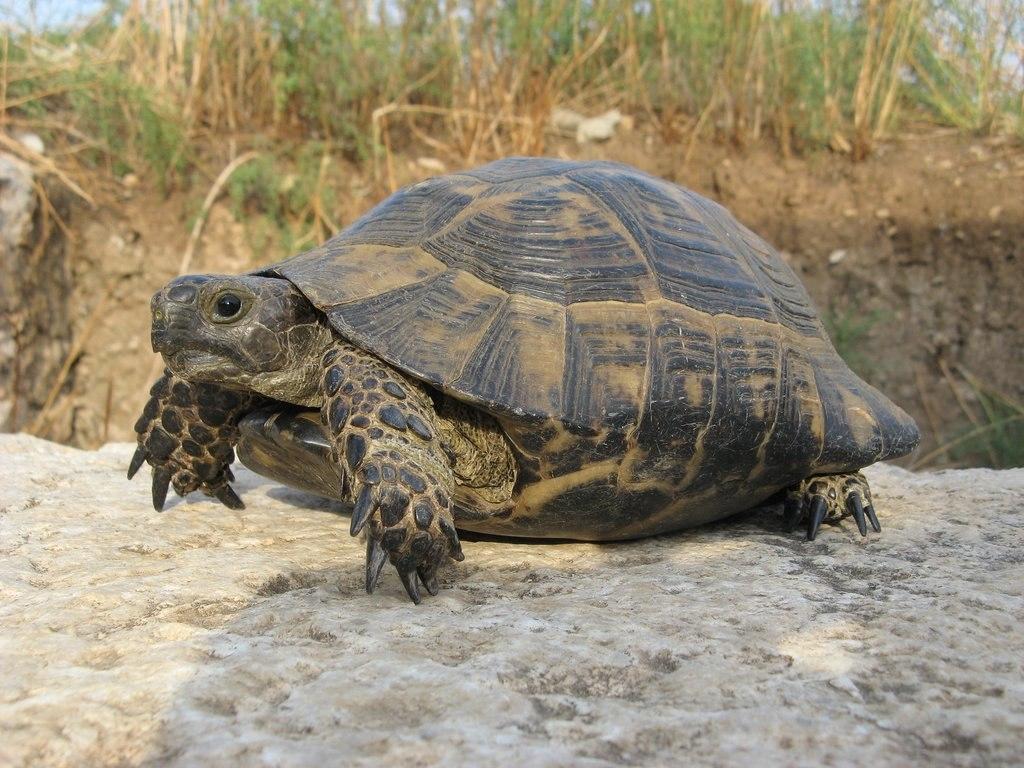 Tortoise, Patara, Lycia, Turkey