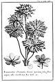 Tournefort Relation T2 p245 Ranunculus.jpg