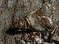 Trachycera advenella (41225492521).jpg