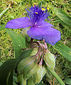 Tradescantia virginiana (Eendagsbloem) closeup.jpg