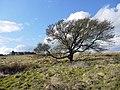 Tree east of Sandyway Heads, Ingoe - geograph.org.uk - 1191029.jpg