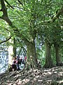 Tree roots at Avebury at summer solstice 2014 3.JPG