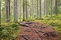 Tree roots on trail.jpg