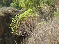 Tree spurge - panoramio.jpg