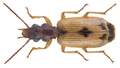 Trichis maculata.png