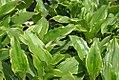 Tricyrtis formosana Gilt Edge 0zz.jpg