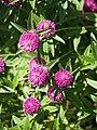 Trifolium alpestre Koniczyna dwukłosowa 2015 04.jpg