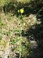 Trifolium aureum sl18.jpg