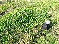 Trifolium repens plant2 (10733930433).jpg