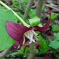Trillium flexipes red morph flower flip.jpg