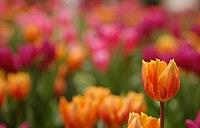 Triumph Tulip Tulipa 'Prinses Irene' Single 2859px.jpg