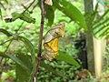Troides minos - Southern Birdwing pupa at Thattekkadu (7).jpg