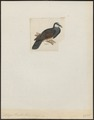 Trugon terrestris - 1820-1860 - Print - Iconographia Zoologica - Special Collections University of Amsterdam - UBA01 IZ15600271.tif