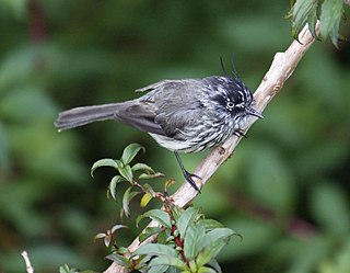 Tufted tit-tyrant species of bird